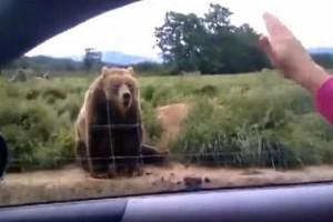 Γυναίκα χαιρετάει μια αρκούδα από το αυτοκίνητό της. Ποτέ όμως δεν φαντάζονταν μια τέτοια αντίδραση από την αρκούδα! (video)