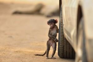 Η φωτογραφία της ημέρας: Ένας μικρός μπαμπουίνος που κρατάει τη ρόδα ενός αμαξιού!