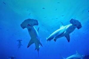 Δύτης περικυκλωμένος από καρχαρίες! Αντέχετε;