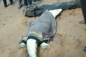 Σοκ: Βρήκαν άνθρωπο μέσα σε νεκρό κροκόδειλο!