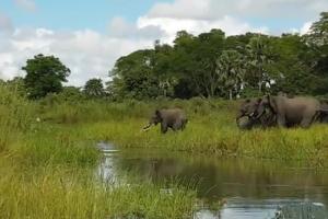 Κροκόδειλος άρπαξε ελεφαντάκι από την προβοσκίδα! Λίγο αργότερα το μετάνιωσε οικτρά... (video)