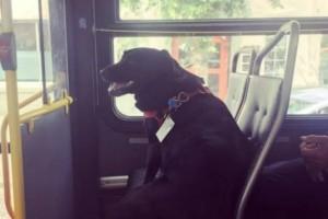 Αυτό το Λαμπραντόρ ανεβαίνει μόνο του στο λεωφορείο! Μόλις οι επιβάτες είδαν τι φοράει στο λαιμό του έμειναν... άφωνοι!