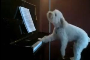 Σκύλος παίζει πιάνο και... «δίνει» ρέστα! (video)