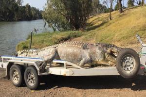 Τον τρόμο και τον φόβο έχει σπείρει στην Αυστραλία ένας κροκόδειλος 5,2 μέτρων!