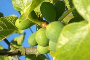 Φύλλα συκιάς: Οι θεραπευτικές ιδιότητες που δεν γνωρίζαμε μέχρι σήμερα! (Photos)