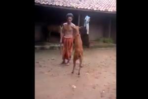 Απίστευτο κι όμως αληθινό: Αυτή η αγελάδα περπατά στα δυο πόδια (video)