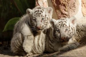 Η φωτογραφία της ημέρας: Νεογέννητες λευκές τίγρεις!