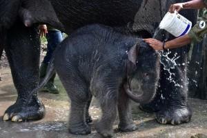 Η φωτογραφία της ημέρας: Εκπαιδευτής κάνει μπάνιο έναν νεογέννητο ελέφαντα!