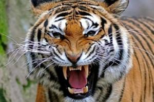 Παρίσι: Ελεύθερη τίγρης έσπειρε τον πανικό!