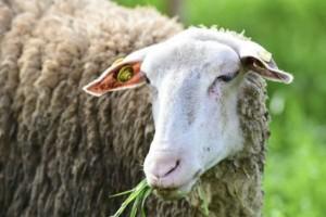 Έρευνα: Τα πρόβατα είναι ικανά να αναγνωρίσουν ανθρώπινα πρόσωπα από φωτογραφίες!
