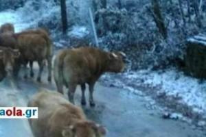 Τρίκαλα: Οι φωτογραφίες που έγιναν viral - Αγελάδες τρώνε το αλάτι στους χιονισμένους δρόμους!
