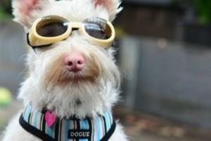 Σκύλος αναγκάζεται να φοράει γυαλιά ηλίου! Δείτε γιατί!