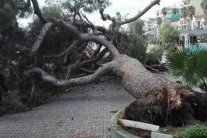Καλαμάτα: Ξεριζώθηκε υπεραιωνόβιο δέντρο στο λιμάνι της πόλης (Photos)