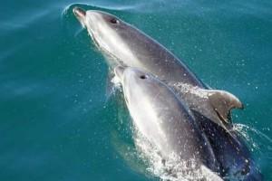 Απίστευτο! Τα δελφίνια αναγνωρίζουν τον εαυτό τους στον καθρέφτη!