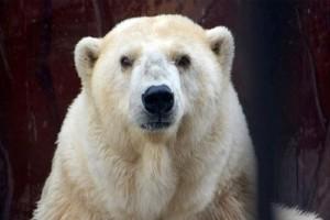 Πέθανε η γηραιότερη λευκή αρκούδα της Ρωσίας! (Video)