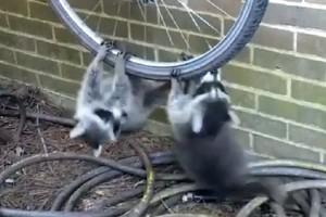 Ένα γλυκό βίντεο: Ρακούν μετέτρεψαν ένα ποδήλατο σε «ρόδα» λούνα παρκ! (Video)