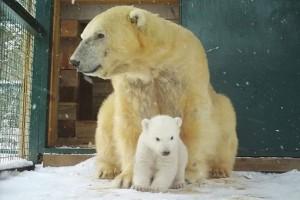 Διασημότητα από τα γεννοφάσκια του: Το πρώτο πολικό αρκουδάκι που γεννήθηκε στην Μεγάλη Βρετανία μετά από 25 χρόνια! (Video)