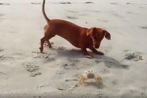 Η πιο ζωηρή «μονομαχία» ανάμεσα σε έναν σκύλο και έναν κάβουρα! (Video)