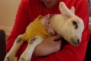 Αυτό το μικρό γλυκό αρνάκι πιστεύει πως είναι...σκύλος! (video)