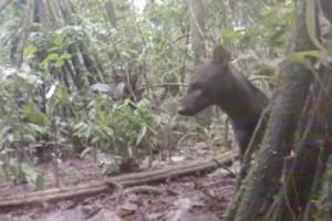Αυτό είναι το πιο σπάνιο ζώο του κόσμου (video)