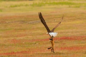 Η πιο viral αερομαχία: Αετός και αλεπού «πλακώνονται» για έναν λαγό!