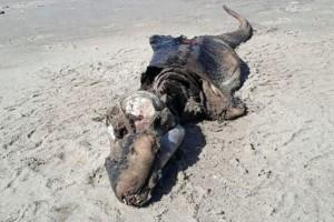 Βρετανία: Μυστηριώδες πλάσμα ξεβράστηκε σε παραλία!