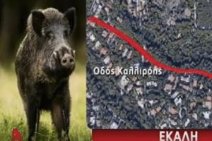 Επικό: Αγριογούρουνα «βολτάρουν» στην Εκάλη! (Video)