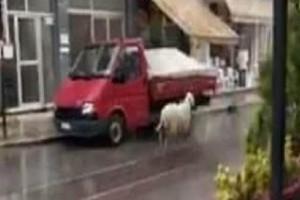 Επικό βίντεο: Πρόβατο τριγυρνούσε στην Θεσσαλονίκη! Παραλίγο να τρακάρει με αυτοκίνητο!