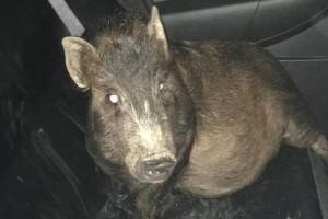 Φώναξε την αστυνομία γιατί τον ακουλουθούσε ένα... γουρούνι!