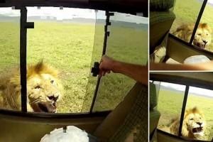 Σοκ: Τουρίστας άπλωσε το χέρι του για να χαϊδέψει λιοντάρι σε σαφάρι! (video)