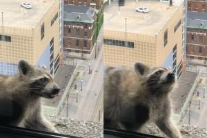 To ρακούν που έγινε viral! - Σκαρφάλωσε με μπρίο στην κορυφή ουρανοξύστη!