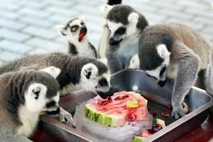 Η φωτογραφία της ημέρας: Λεμούριοι απολαμβάνουν τα φρούτα τους στο ζωολογικό πάρκο!