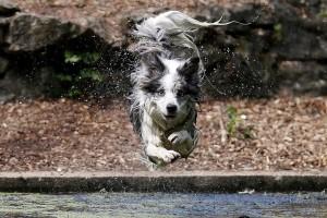 Η φωτογραφία της ημέρας: Ένας σκύλος βουτά στο νερό σε πάρκο σε της Αγγλίας!