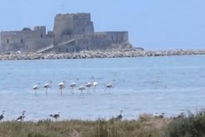 Ναύπλιο: Τα φλαμίνγκο έκαναν... comeback! (Video)