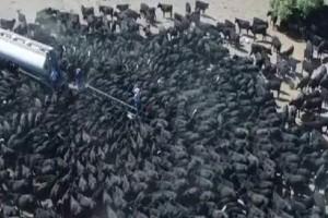 Απίστευτο: Αγελάδες σκάνε από τη ζέστη και επιτίθενται σε υδροφόρα! (video)