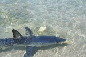 Πανικός στο Ρέθυμνο: Καρχαρίας βγήκε σε παραλία! (video)