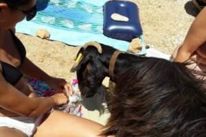 Κρήτη: Κατσίκα τρώει φαγητό από τους λουόμενους και γίνεται viral! (video)