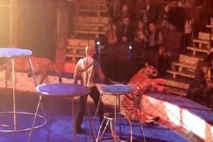 Σοκαριστικό βίντεο: Τίγρης κατέρρευσε σε τσίρκο!