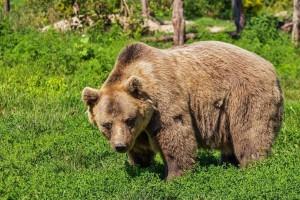 Αρκούδα εγκλωβίστηκε σε αυτοκίνητο αλλά… η διαφυγή της θα σας αφήσει άναυδους! (video)