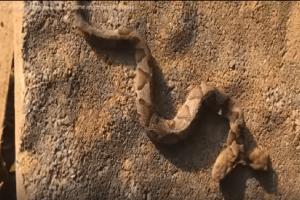 Μοναδικό θέαμα: Δικέφαλη οχιά σε αυλή σπιτιού! (Video)