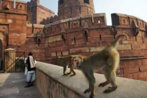 Απίστευτο: Μαϊμούδες σκότωσαν 72χρονο πετώντας του τούβλα από δέντρο!