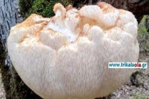 Τρίκαλα: Βρέθηκε σπάνιο είδος άγριου μανιταριού! - Ζυγίζει 5,5 κιλά