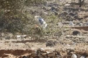 Το βίντεο που έχει γίνει viral! - Η κατσίκα ακροβάτης βολτάρει με άνεση πάνω σε μια αχλαδιά!