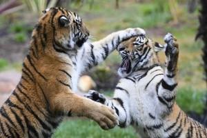 Η φωτογραφία της ημέρας: Δύο τιγράκια παίζουν στον ζωολογικό κήπο της Καμπέρα!