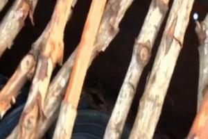 Nomads: Πανικός στη Σαβάνα! Το πελώριο φίδι  που έσπειρε τον πανικό! (video)