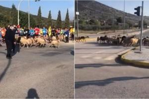 36ος Μαραθώνιος Αθήνας: Το βίντεο που έγινε viral! - Πρόβατα και τσοπάνης τρέχουν ανάμεσα στους δρομείς!