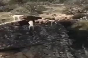 Απίστευτο: Κυνηγός έστειλε 12 σκυλιά να κυνηγήσουν ελάφι και αυτά.... έπεσαν από γκρεμό! (Video)