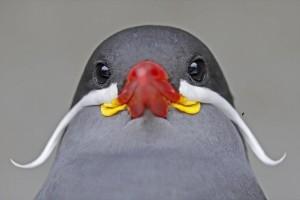Η φωτογραφία της ημέρας: Καλημέρα σε όλους με ένα  inca tern!