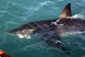 Θρίλερ στο Λουτράκι: Καρχαρίας δύο μέτρων κόβει βόλτες στο λιμάνι! (videos)