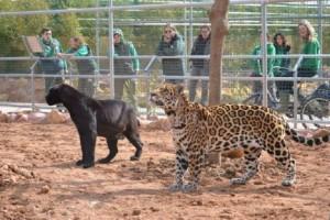 Τρόμος στο Αττικό Ζωολογικό Πάρκο: Δραπέτευσαν δύο τζάγκουαρ και θανατώθηκαν!